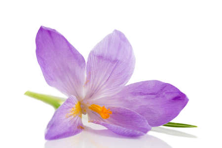 cathartic: crocus flowers isolated on white background Stock Photo