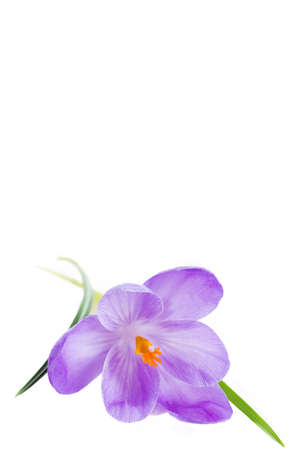 cathartic: blue crocus flowers isolated on white background