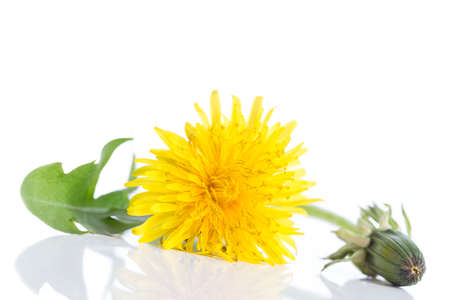 Dandelion - spring flowers. Yellow flowers isolated on white background. Stock Photo
