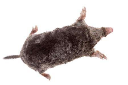 The European mole on white background