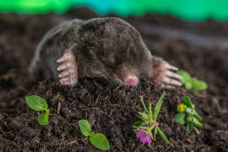 European mole emerging from the ground, France