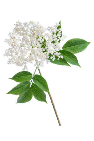 elder flower blossoms on white background
