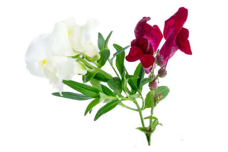 Isolated flower of purple and white matthiola on blanch background
