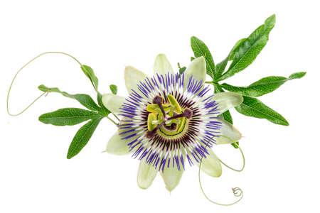 Fleur de passion de couleur bleue isolé sur blanc