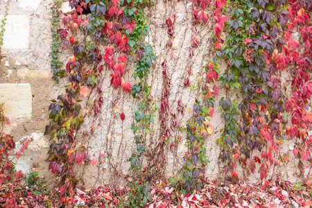 Colorful autumn Virginia Creeper. Wild grape background. Red and orange autumn leaves on wall Foto de archivo