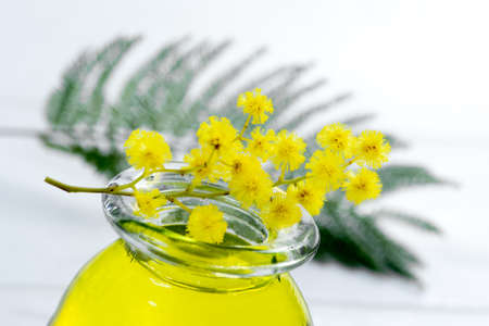 Essential aroma oil with mimosa. Medicine, Acacia dealbata. Stock Photo