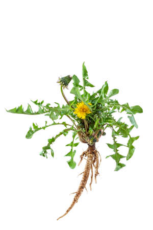 Medicinal plant: Dandelion Taraxacum officinale