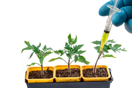 Close-up shot of a syringe injecting a yellow liquid to fresh tomatoes plant in pot Concept of genetic modification.