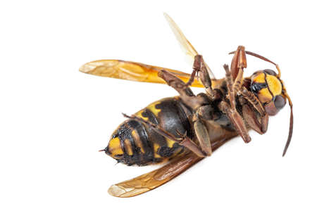 Closeup of a dead wasp horneet yellow and black over a white background
