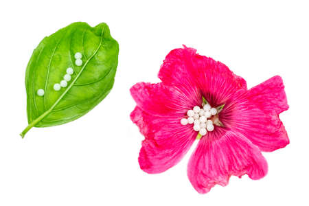 Homeopathic pills in the middle,of pink flower rosehide and in line on basil lea fclose up on white