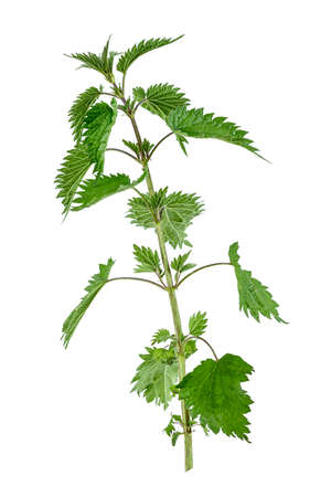 L'ortie puante (Urtica dioica) plante toutes un fond blanc.