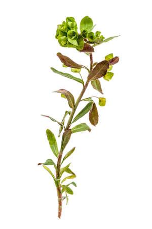 Beetle bug on flowers of milkweed on a white background