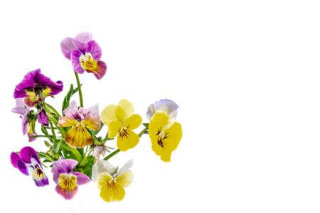 Pansies Violets flowers it is isolated on a white background:Field pansies Viola arvensis is species of violet