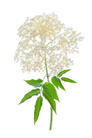 Bloom elderflower (Sambucus nigra) on white background. Common names: elder, elderberry.