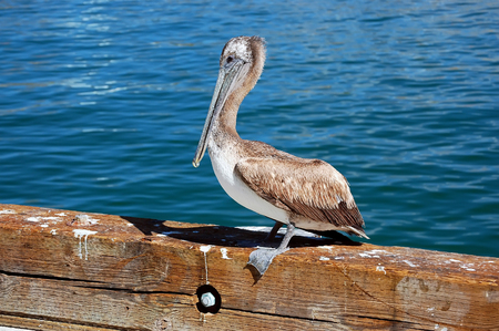 Pelican on pier near Monterey, CA