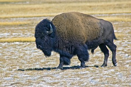 Large Male Buffalo at Yellowstone NP Stock Photo