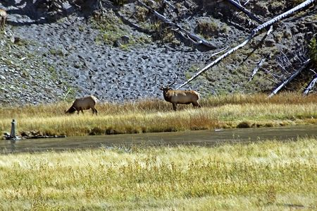 Large Buck Elk with Doe at Yellowstone NP Stock Photo