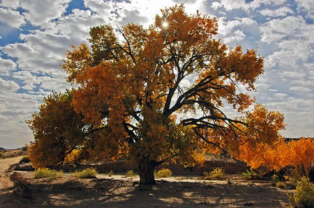 Fall Color Tree Backlit at Escalante NP Stock Photo