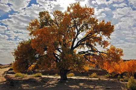 Fall Color Tree Backlit at Escalante NP Stockfoto