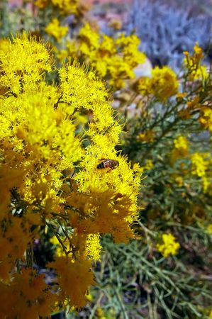 Bee with Yellow Flowers at Escalante NP