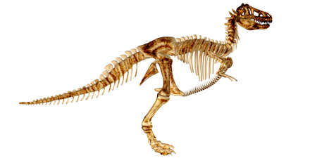 trex: Illustration of the skeleton of a Tyrannosaurus-Rex  T-rex  isolated on a white background
