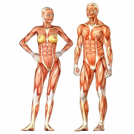흰색 배경에 고립 된 남성과 여성의 인체 해부학 그림 문자