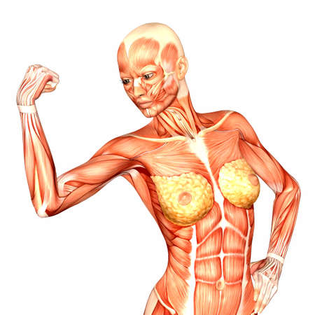 Illustration of the anatomy of the female human upper body isolated on a white background