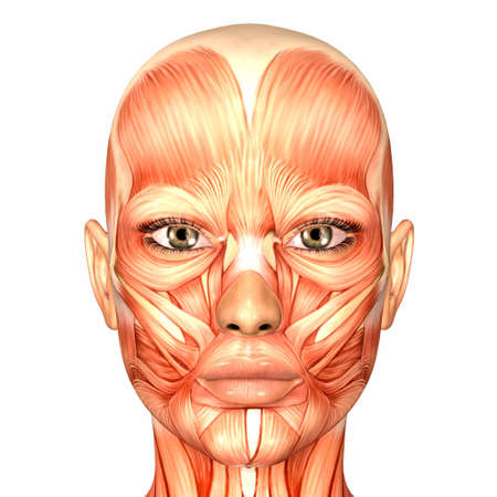 muscle anatomy: Illustration of the anatomy of the female human face isolated on a white background Stock Photo