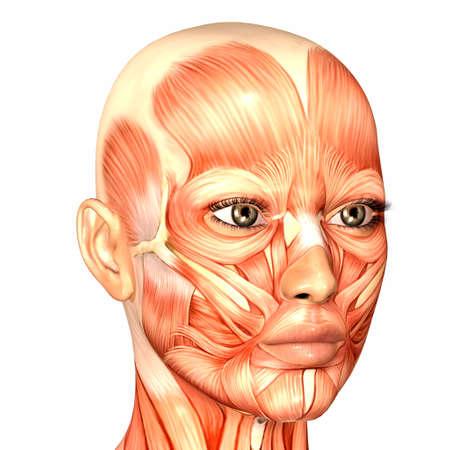 anatomie humaine: Illustration de l'anatomie du visage humain de sexe féminin isolé sur un fond blanc