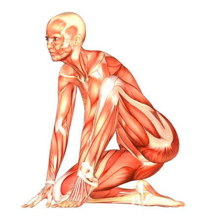 ścięgno: Ilustracja anatomii kobiecego ciaÅ'a ludzkiego na biaÅ'ym tle