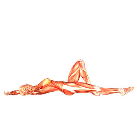 muscular anatomy: Illustration of the anatomy of the female human body isolated on a white background