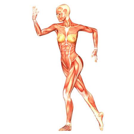 ścięgno: Ilustracja anatomii kobiecego cia?a ludzkiego na bia?ym tle