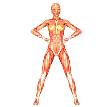 female anatomy: Illustration of the anatomy of the female human body isolated on a white background