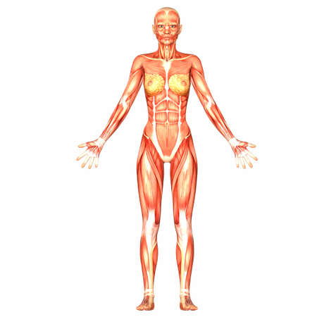 frontal: Illustration of the anatomy of the female human body isolated on a white background