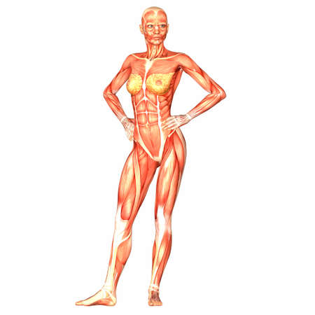 Illustration of the anatomy of the female human body isolated on a white background illustration