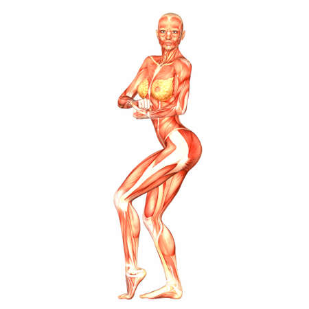 Illustration of the anatomy of the female human body isolated on a white background Stock Illustration - 12743495