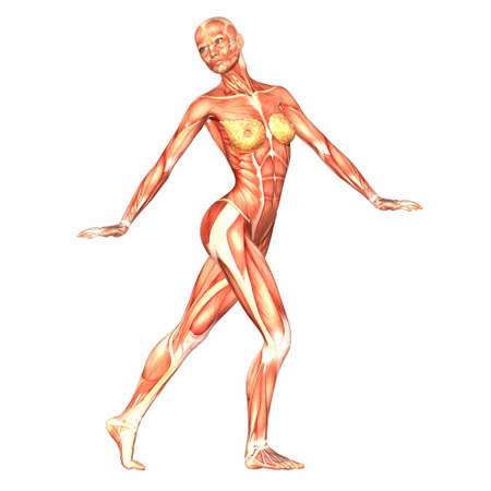 Illustration of the anatomy of the female human body isolated on a white background Stock Illustration - 12743559