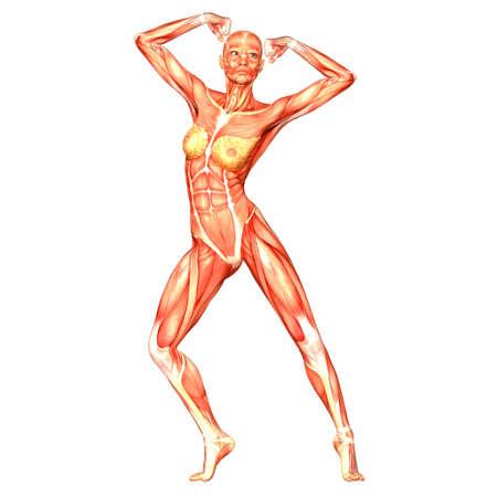 fisiologia: Ilustraci�n de la anatom�a del cuerpo humano femenino aislado en un fondo blanco