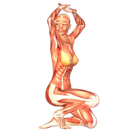 muskelaufbau: Illustration der Anatomie des weiblichen K�rpers auf einem wei�en Hintergrund