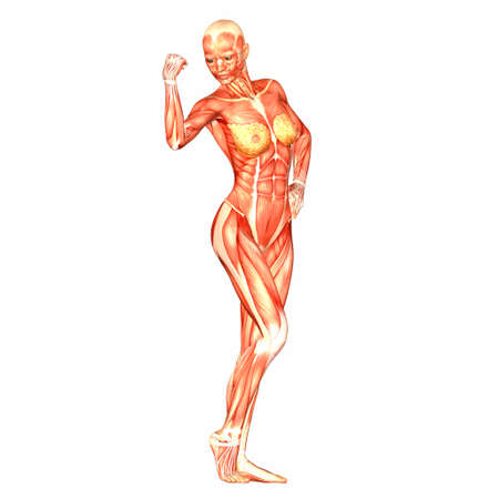 muscular build: Illustration of the anatomy of the female human body isolated on a white background