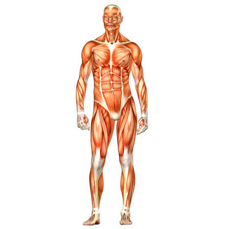 muscular build: Illustration of the anatomy of the male human body isolated on a white background