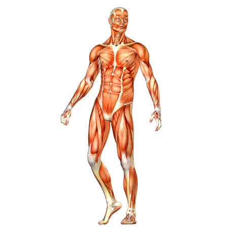 homo: Illustration of the anatomy of the male human body isolated on a white background