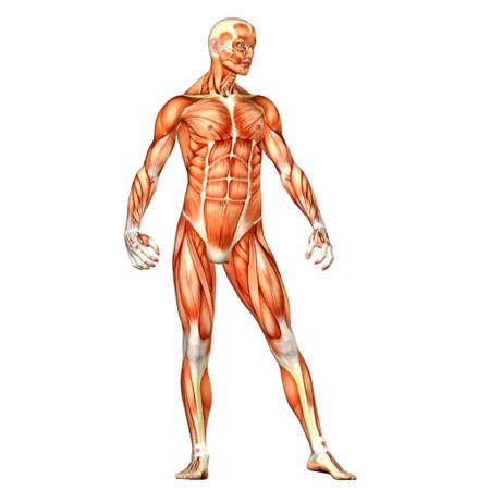Illustration der Anatomie des männlichen menschlichen Körpers auf einem weißen Hintergrund