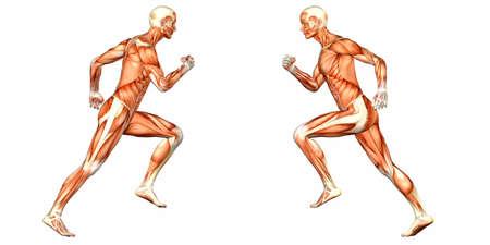 muskelaufbau: Illustration der Anatomie des m�nnlichen menschlichen K�rpers auf einem wei�en Hintergrund