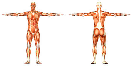 anatomie mens: Illustratie van de anatomie van het mannelijk menselijk lichaam geïsoleerd op een witte achtergrond Stockfoto