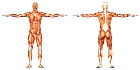 ścięgno: Ilustracja anatomii męskiego ciała człowieka na białym tle Zdjęcie Seryjne