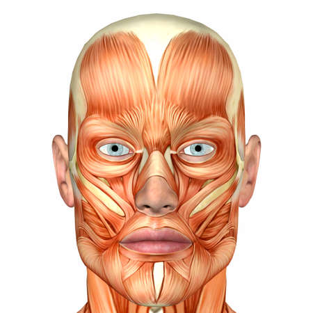 skin face: Illustration of the anatomy of the male human face isolated on a white background