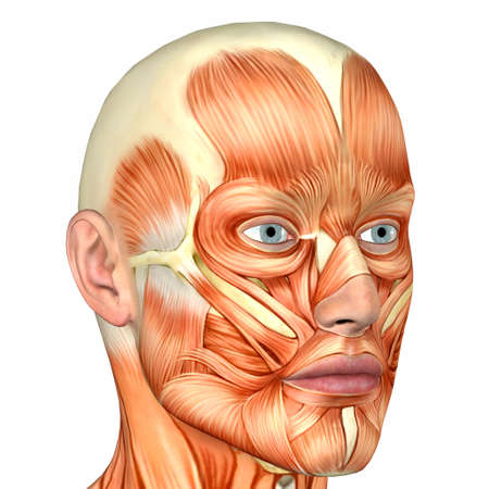 muscular build: Illustration of the anatomy of the male human face isolated on a white background