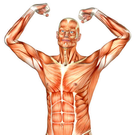 Illustration of the anatomy of the male human upper body isolated on a white background