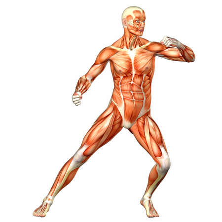 Illustration of the anatomy of the male human body isolated on a white background Stock Illustration - 12743630